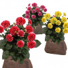 Flowerocks Dahlia Perennial Flowers for $29.99